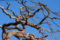 Dead tree against the blue sky in serengeti africa Royalty Free Stock Images