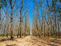 Dead tree with the blue sky, in nature landscape of winter meadow of Thailand. Royalty Free Stock Photo