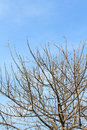 Dead tree branch against blue sky Royalty Free Stock Photo