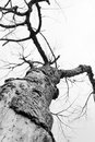 Dead tree branch black and white Royalty Free Stock Photo