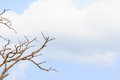 Dead tree branch on blue sky Royalty Free Stock Image