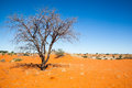 Dead tree in the desert red sand of kalahari namibia Stock Photo
