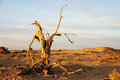 Dead tree of diversifolia populus in the desert Stock Photography