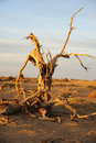 Dead tree of diversifolia populus in the desert Royalty Free Stock Image