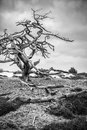 Dead tree in a dutch mooreland Royalty Free Stock Image