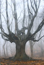 Dead tree in foggy forest Stock Photo