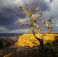 Dead tree at Grand Canyon Royalty Free Stock Images