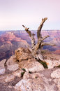 Dead tree in Grand Canyon National Park, Arizona, USA Royalty Free Stock Photo