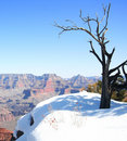 A Dead Tree on the Grand Canyon Rim Royalty Free Stock Photo