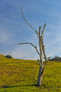 Dead Tree In A Grass Field Wit...