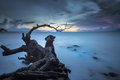 Dead tree a located at kep beach kampot Royalty Free Stock Image