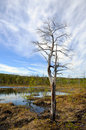 Dead tree near bog Royalty Free Stock Photo