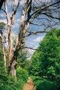 Dead tree near path Royalty Free Stock Image