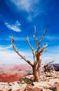 Dead tree at the rim of the Grand Canyon Royalty Free Stock Images