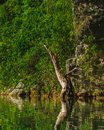 Dead tree on the shore of a fresh water lake in the jungle next Royalty Free Stock Photo