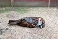 Dead Tree Sparrow By A Brick W...
