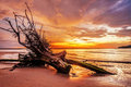 Dead tree trunk on tropical beach in sunset time Stock Photography