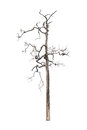 Dead tree on white background Royalty Free Stock Photos