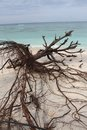 Dead tree at white sand beach klayar with pacitan east java indonesia Royalty Free Stock Photo