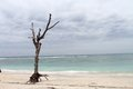 Dead tree at white sand beach klayar with pacitan east java indonesia Stock Images