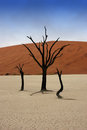 Dead trees in Deadvlei Royalty Free Stock Photo