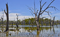 Dead trees in forest of gumtrees, Forbes, New South Wales, Australia. Royalty Free Stock Photo