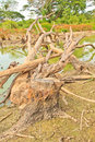 Dead trees at a green water pool Stock Image