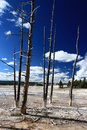 Dead trees in yellowstone and geysers national park of the united states Stock Photography