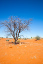 Dead ttee in the kalahari tree red sand of desert namibia Royalty Free Stock Image