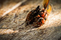 Dead wasp close up of on wooden Royalty Free Stock Photos