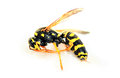 Dead wasp polistes dominula european yellowjacket paper isolated on white background Stock Photography