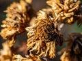 Dead, brown winter zinnias 1 Royalty Free Stock Photo