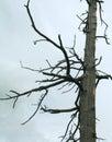 Dead-wood no fundo nublado Fotografia de Stock Royalty Free