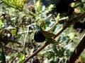 Deadly Nightshade, belladonna berry, Royalty Free Stock Photo