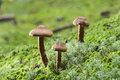 Deadly webcap mushrooms in rain cortinarius rubellus poisonous Royalty Free Stock Photos