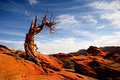 Deadwood slick rock with dead juniper tree Stock Photos