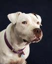 Deaf and blind white pitbull smiling in a portrait head shot posing for her profile Stock Image