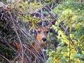 Dear deer a outside the grand canyou Stock Photos
