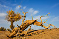 Death populus euphratica the under sunset in desert of inner mongolia Royalty Free Stock Photo