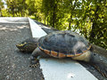Death turtle on the street. Roadkill in Thailand. Royalty Free Stock Photo
