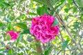 Debbie Camellia(New Zealand Ch...