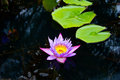 Decay lotus or water lily flower in the pond Royalty Free Stock Photo