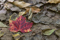 Decaying leaf dust to dust maple on the forest floor in the fall Royalty Free Stock Photography