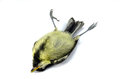 A deceased blue tit close up of Stock Images