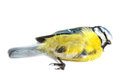 Deceased blue tit Royalty Free Stock Photo