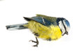 Deceased blue tit a close up of a Royalty Free Stock Image