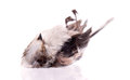 Deceased long tailed tit on white background selective focus on beak Stock Images