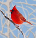 December Northern Cardinal Royalty Free Stock Photography