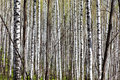 Deciduous birch forest with morning sunlight Royalty Free Stock Photo