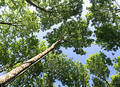 Deciduous Canopy Royalty Free Stock Photos
